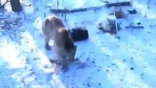 Охота на медведя или наоборот