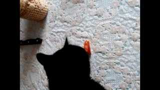 Кошка ест помидор. Cat eats a tomato))