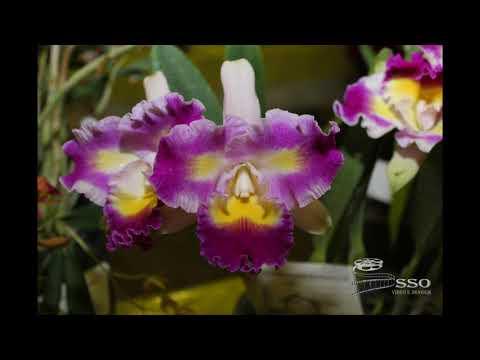 Santa Cruz do Sul - RS Festa das flores, setembro de 2018 Exposição de Orquídeas #sso videoeimagem