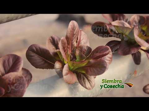SIEMBRA Y COSECHA TV: Producción de lechugas en hidroponia - parte 2