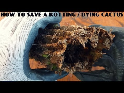 How To Remove Mealybugs From Very Spiny Or Hairy Cactus