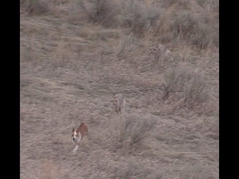 Coyote Hunting - The BEST DECOY DOGGIN video- Coyote Assassins Episode 31