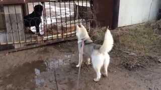 Хаски и пёс охранник!