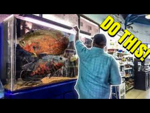 HOW TO CARE FOR BIG OSCAR FISH!