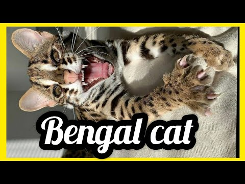 Bengal Cat - Bengal cats talking! - Kitten Bengal Cat - Bengal Cat Compilation