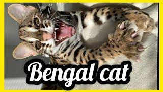 Bengal Cat  Bengal cats talking!  Kitten Bengal Cat