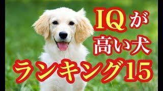 頭が良く賢い犬は?IQが高い犬ランキングトップ15 数多くいる犬種の中...