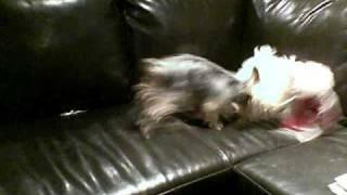 Dog Fight!!  Maltese Vs Yorkie