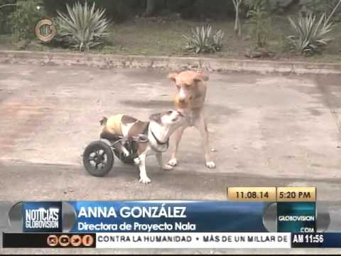 Proyecto nala crea sillas de rueda para perros for Sillas para discapacitados