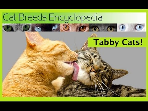 Tabby Cats 10 Quick Facts - Cat Breeds Encyclopedia