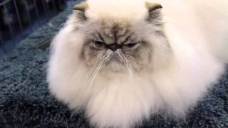 Is a Himalayan the Right Cat Breed for You?