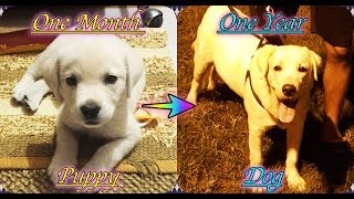 Labrador Dog One Year Transformation | Yellow Lab Indian Born | Puppy To Dog  | 1 Month To 1 Year |