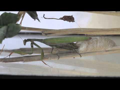 Europ�ische Gottesanbeterin - Mantis religiosa bei der Eiablage