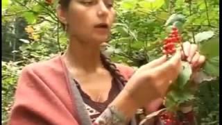 Лечебное растение калина