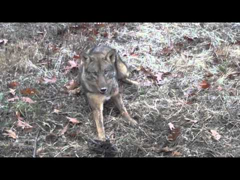 Managing / Trapping Coyotes DVD teaser