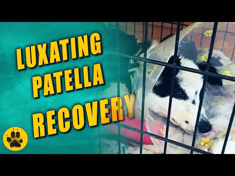 Luxating Patella Surgery Recovery