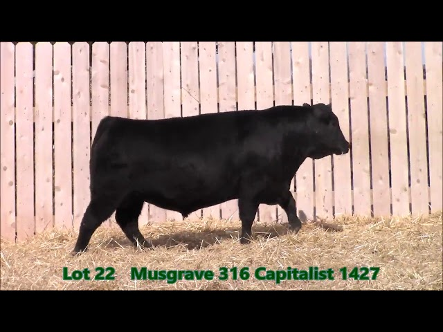 Musgrave Angus Lot 22