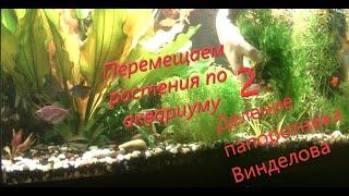 #Aquarium Деление папоротника Винделова