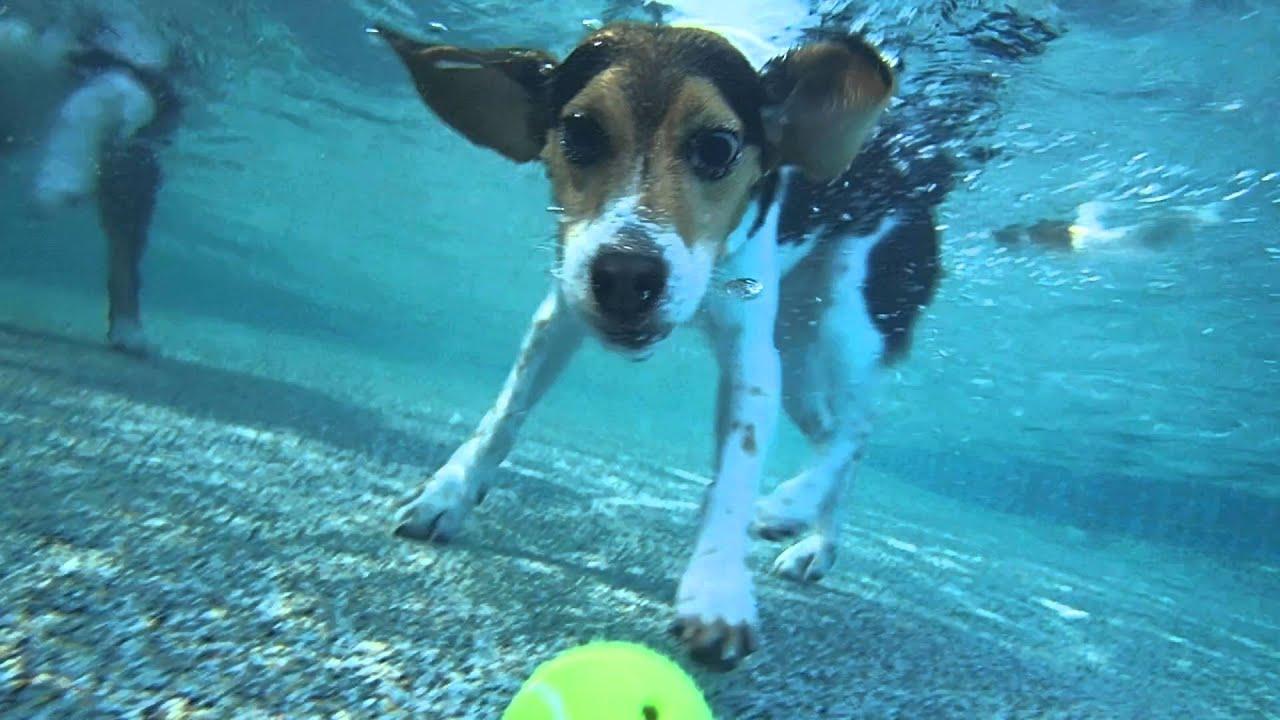 Image result for beagles swim