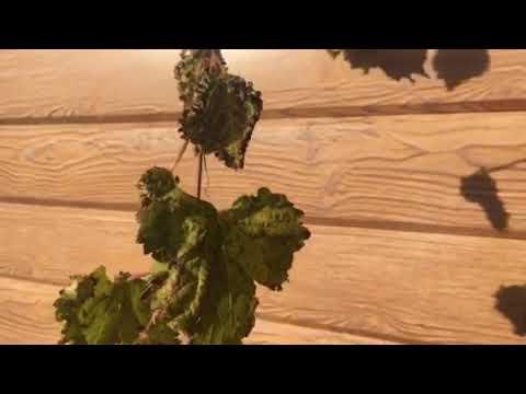 Филлоксера на листьях винограда 2019 г