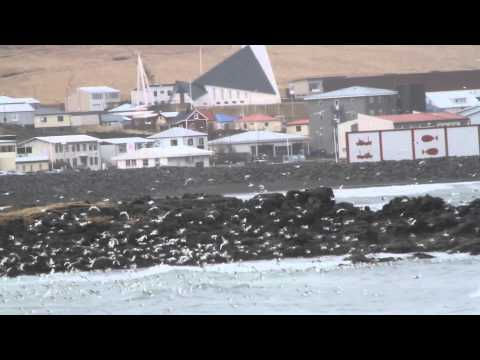 Havssulor i Ólafsvík
