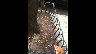 Squirrel vs. Lucy-Fur the Jack Russell Terrier