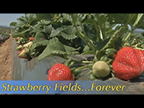 Growing California video series: Strawberry Fields... Forever