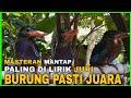 Masteran Burung Tengkek Udang Paling Dicari Tengkek Udang Cengkakak Gacor Durasi Panjang Jernih  Mp3 - Mp4 Download