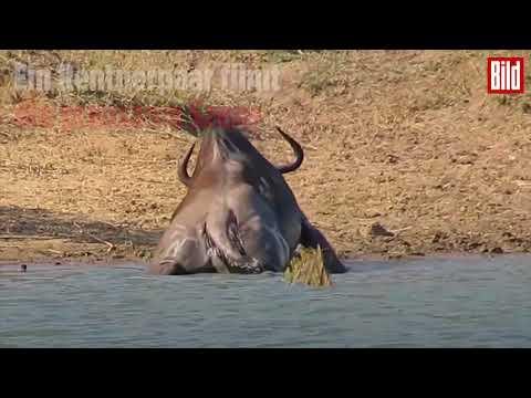 Flusspferde retten Gnu vor Krokodil 😨😰