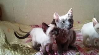 Тонкинские котята, тонкинез