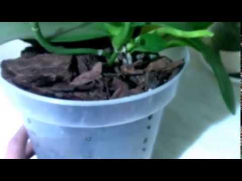 Цитокининовая паста и орхидеи: лайфхаки
