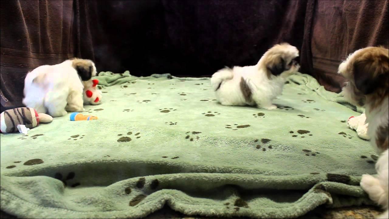 Male And Female Tri Colored Shih Tzu Puppies For Sale In Boca Raton