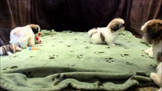 Male And Female Tri Colored Shih Tzu Puppies For Sale In Boca Raton