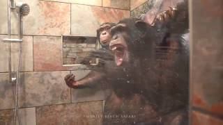 Chimpanzees Taking a Shower - Myrtle Beach Safari