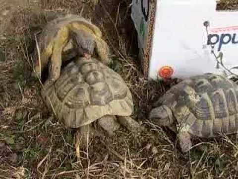 Tartarughe hermanni deposizione e tartarughini doovi for Deposizione uova tartarughe