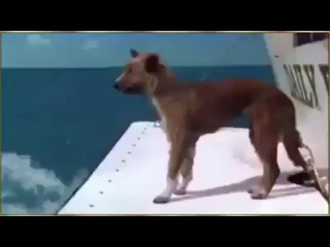 Dolphin saves dog from shark attack