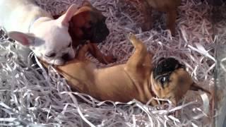 French  Bulldog Complication # 1.march 2015.