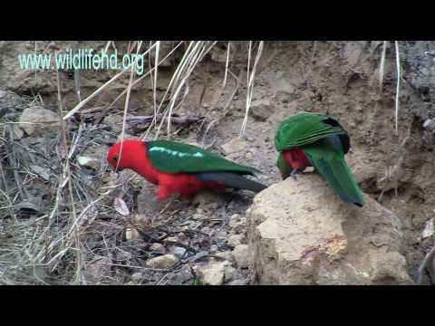 Australian King Parrots.mp4