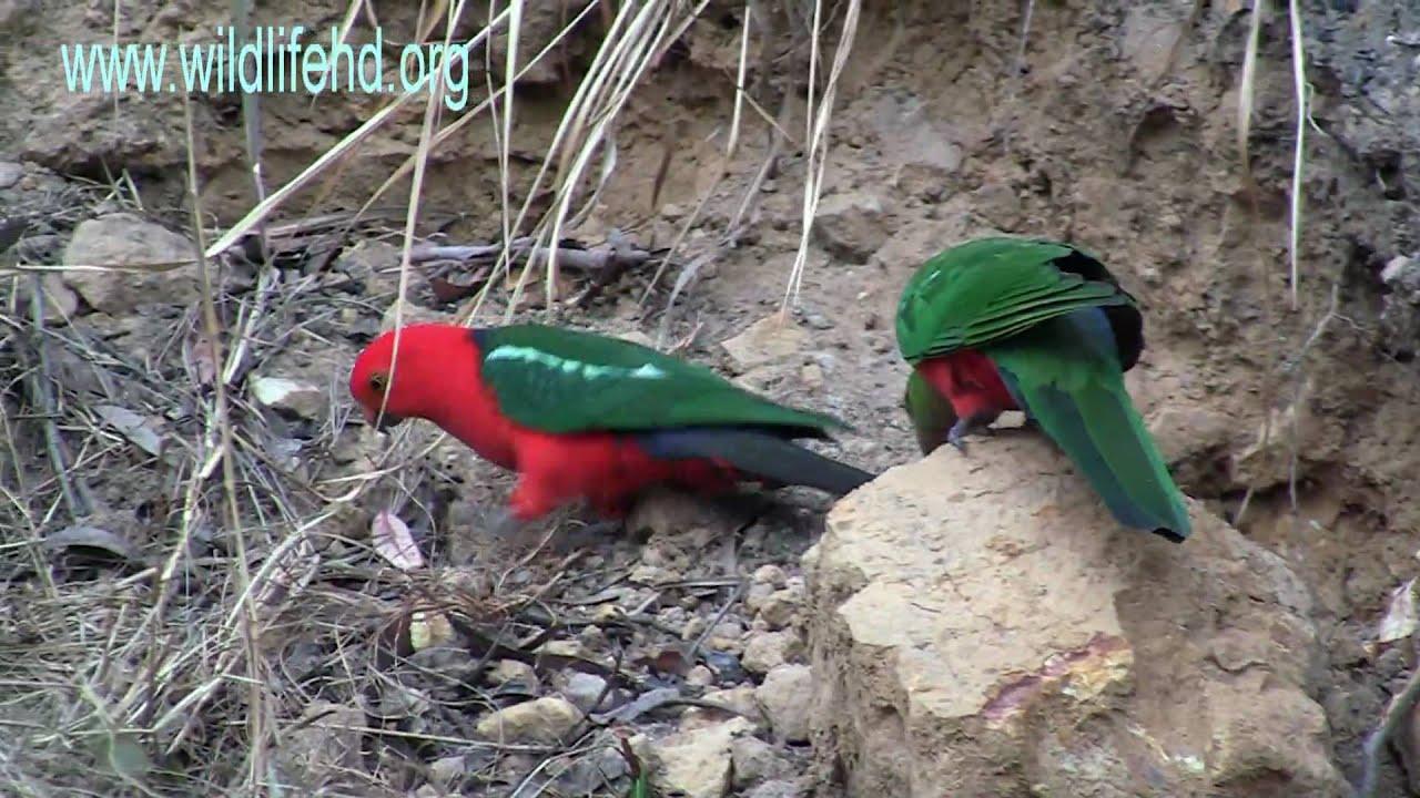 Download Australian King Parrots.mp4