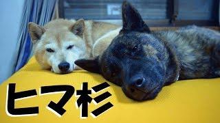 甲斐犬ハルヱ2歳と柴犬エミー14歳。平日の午前中はヒマで退屈のようです...