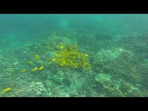 Yellow tangs at Two Steps Hawaii