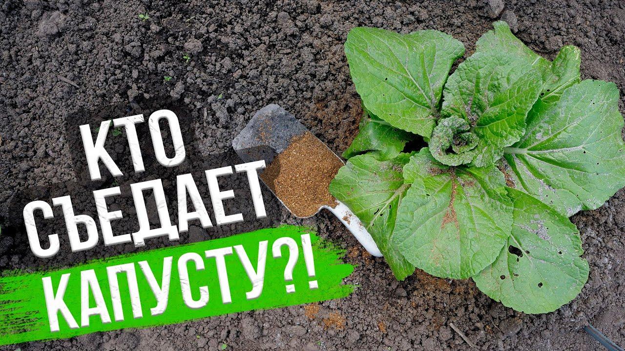 Как спасти капусту от вредителей. ЛУЧШИЕ СПОСОБЫ