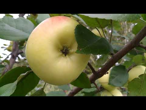 Низкоштамбовый способ формирования крупноплодных   яблонь в Сибири..