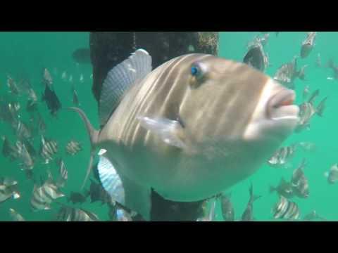 Duck, NC Triggerfish Under Pier