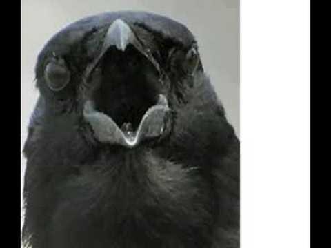 CAW CAW CAW CAW CAW CAW CAW CAW CAW CAW CAW CAW CAW CAW CAW CAW CAW CAW CAW CAW