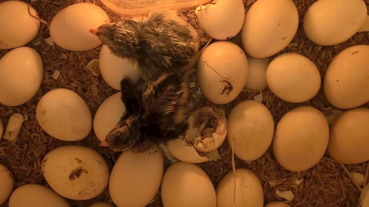 Hướng dẫn soi trứng có trống từng giai đoạn