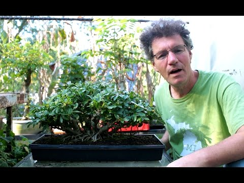 Repotting a Banyan style Schefflera bonsai, Sept 2016
