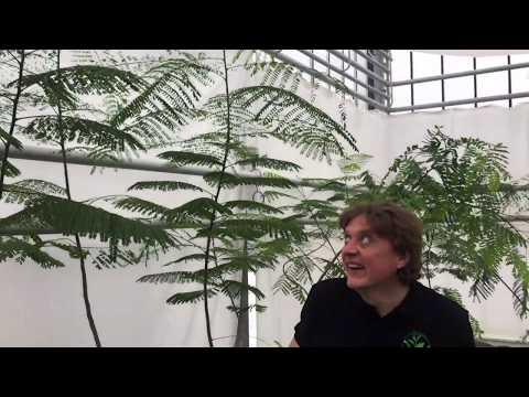 Вопрос: В чем особенность растения жакаранда, кто их начал выращивать?