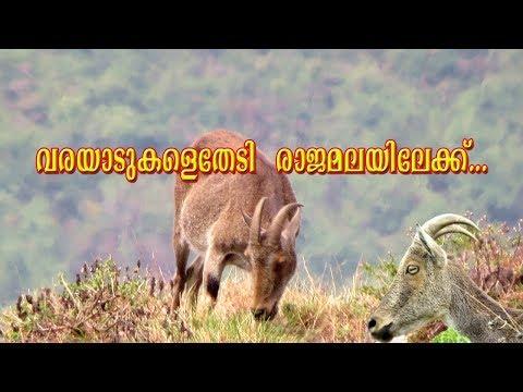 വരയാടുകളെതേടി രാജമലയിലേക്ക്... |Iravikulam National Park...