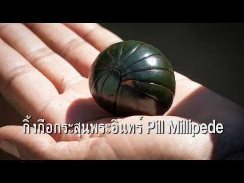 กิ้งกือกระสุนพระอินทร์ Pill millipede